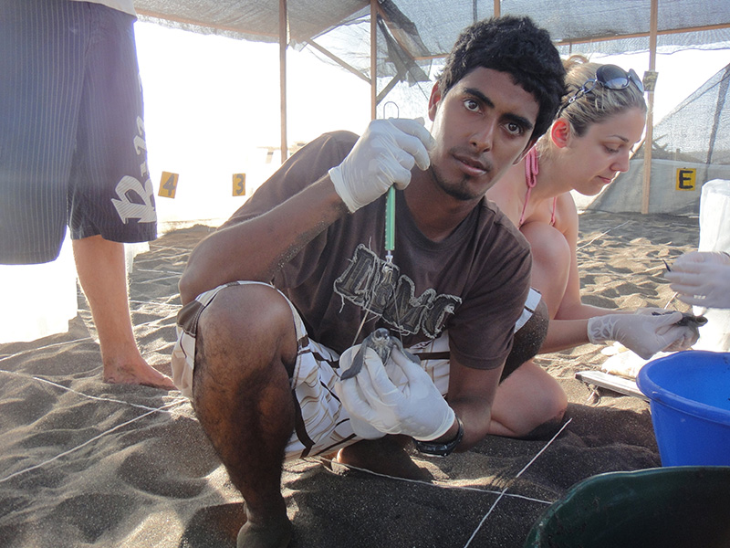 Jairo weighs a hatchling leatherback. In 2012, according to The Tico Times, Jairo and his colleagues on Moín Beach saved 1,474 sea turtle nests. In 2013, poachers stole the eggs from all but eight. Photo: Christine Figgener, Courtesy of Wikimedia Commons.